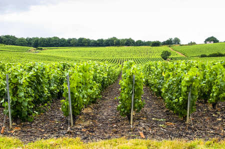 Vineyards in Champagne (France) at summer (july) photo