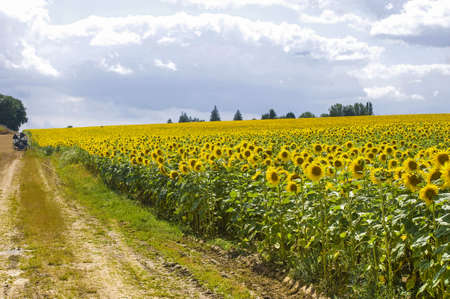Countryside in Burgundy (Yonne, France) - Field of sunflowers photo