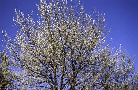 Baum Mit Weißen Blüten Im Frühjahr Im Park Von Monza (Mailand ...