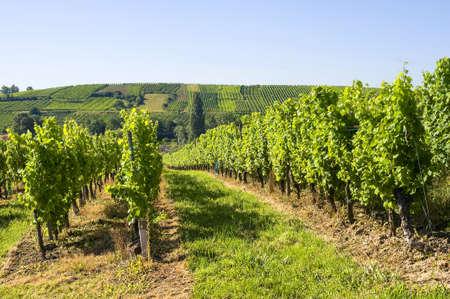 andlau: Vineyards in Alsace (France) near Andlau (Bas-Rhin)