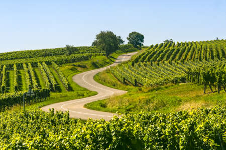 Winding road in the vineyards of Alsace near Itterswiller (Bas-Rhin, France) at summer