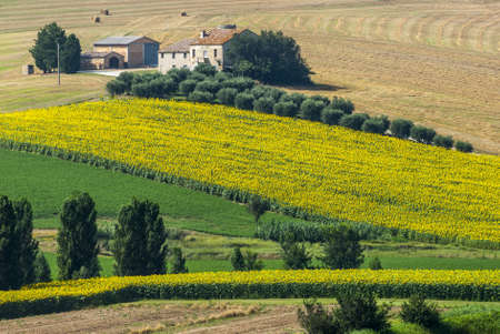 Marches (Italy) - Landscape at summer near Jesi, typical farm