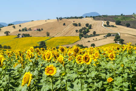 Marches (Italy) - Landscape at summer near Cingoli photo