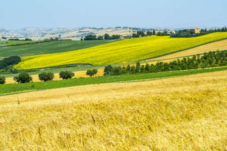 Jesi - Cingoli (Macerata, Marche, Italy) - Landscape at summer, with sunflowers Stock Photo