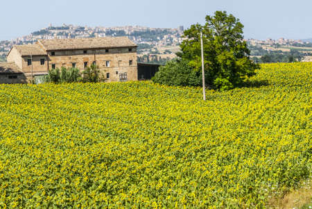 Old farmhouse with sunflowers field and panoramic view of Osimo (Ancona, Marches, Italy) photo