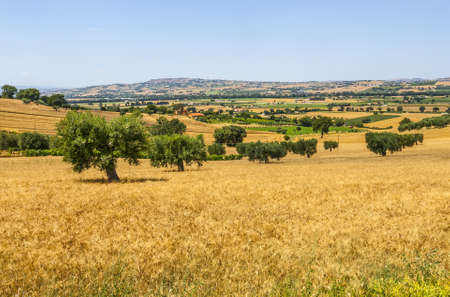 recanati: Marches (Ancona, Italy) - Landscape with wheat fields and olive trees at summer Stock Photo