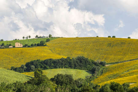 Landscape near Fermo (Marche, Italy) - Sunflowers and other cultivations photo