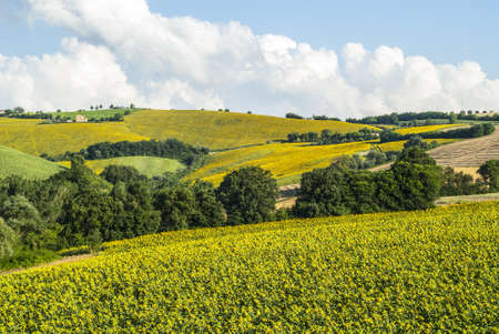 Landscape near Fermo (Marches, Italy) - Sunflowers and other cultivations photo