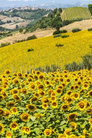 Marches (Italy) - Landscape with sunflowers near Fermo and Monterubbiano at summer photo