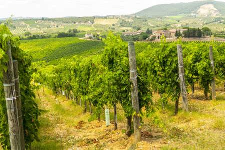 キャンティ (シエナ、トスカーナ、イタリア) - 夏の午後にブドウ園