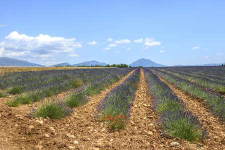 Plateau de Valensole (Alpes-de-Haute-Provence, Provence-Alpes-Cote dAzur, France(, field of lavender photo