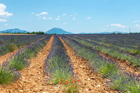 Plateau de Valensole (Alpes-de-Haute-Provence, Provence-Alpes-Cote dAzur, France(, field of lavender photo