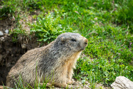 val: Colle dellAgnello (Val Varaita, Cuneo, Piedmont, Italy), closeup of a groundhog Stock Photo