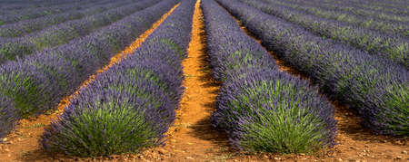 Plateau de Valensole (Alpes-de-Haute-Provence, Provence-Alpes-Cote dAzur, France(, fields of lavender photo