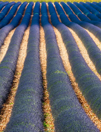 Plateau de Valensole (Alpes-de-Haute-Provence, Provence-Alpes-Cote dAzur, France), field of lavender photo