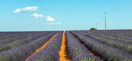 Plateau de Valensole (Alpes-de-Haute-Provence, Provence-Alpes-Cote dAzur, France(, fields of lavender photo