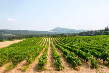 Vineyard in Provence near Marseille (Bouches-du-Rhone, Provence-Alpes-Cote dAzur, France) at summer photo
