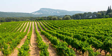 Vineyard in Provence near Marseille (Bouches-du-Rhone, Provence-Alpes-Cote dAzur, France) at summer Stock Photo