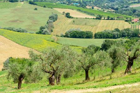 terni: Summer landscape whit olive trees and vineyards near Narni (Terni, Umbria, Italy)