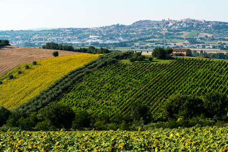 recanati: Country landscape near Recanati (Macerata, Marches, Italy) at summer with vineyard and sunflowers
