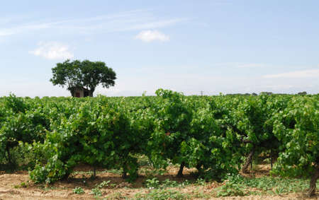 roussillon: Vineyards near Pinet (Languedoc - Roussillon, France) Stock Photo
