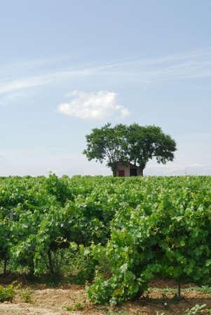 roussillon: Vineyard near Pinet (Languedoc - Roussillon, France)