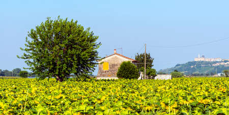 recanati: Country landscape near Recanati (Macerata, Marches, Italy) at summer with sunflowers