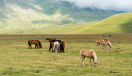 monti: Piano Grande di Castelluccio (Perugia, Umbria, Italy), famous plateau in the natural park of Monti Sibillini. Horses at pasture