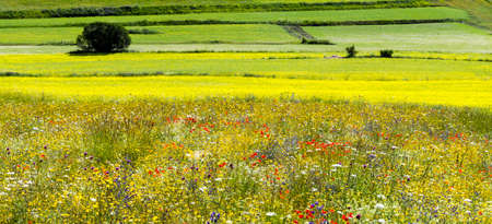 plateau of flowers: Piano Grande di Castelluccio (Perugia, Umbria, Italy), famous plateau in the natural park of Monti Sibillini. Flowers