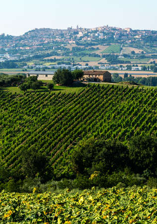 Country landscape near Recanati (Macerata, Marches, Italy) at summer with vineyard and sunflowers photo