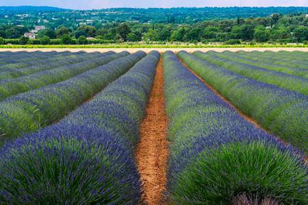 espliego: Campo de lavanda en Provence (Francia) en el resorte ((junio)