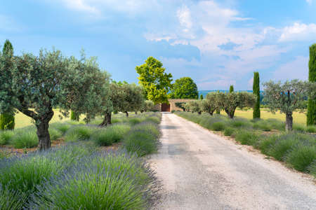 agriculture landscape: Typical farm in Provence (France) with lavender and olive trees at spring (june)