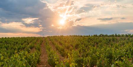 Rural landscape near Orange (Vaucluse, Provence-Alpes-Cote dAzur, France) in a spring evening (june). Vineyard
