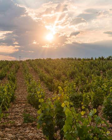 vaucluse: Rural landscape near Orange (Vaucluse, Provence-Alpes-Cote dAzur, France) in a spring evening (june). Vineyard