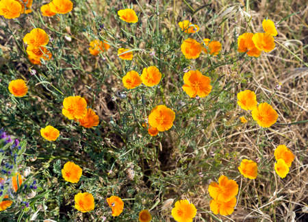 Orange flowers near Montpellier (Herault, Languedoc-Roussillon, France) ay june. Stock Photo