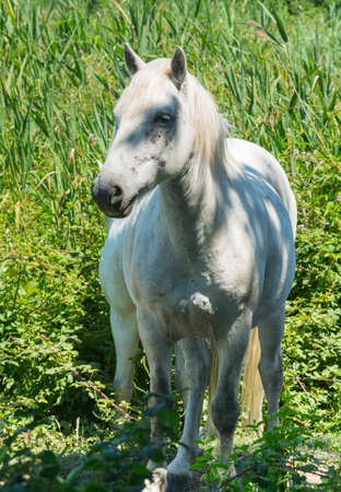 camargue: White horses at pasture in Camargue (Provence, France) Stock Photo