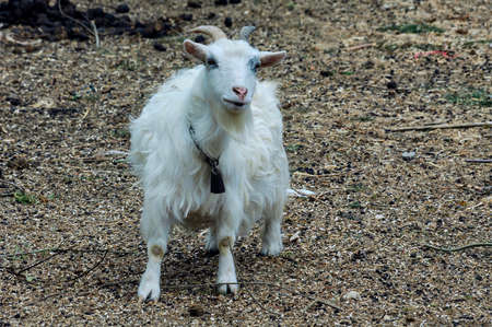 aquitaine: White goat with bell near Libourne (Bordeaux, Gironde, Aquitaine, France) Stock Photo