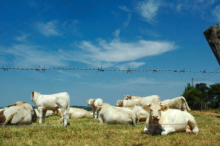 vendee: White cows in Vendee (Pays-de-la-Loire, France) at summer