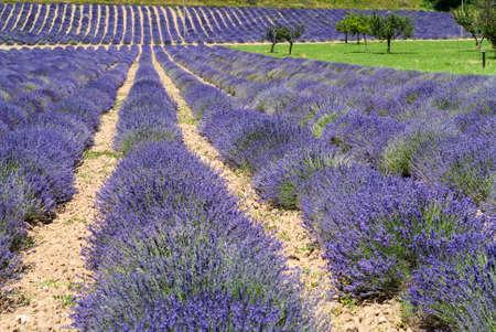 champ de fleurs: Demonte (Cuneo, Piémont, Italie) - Les champs de lavande