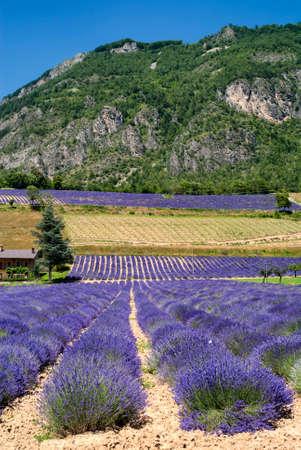 piedmont: Demonte (Cuneo, Piedmont, Italy) - Fields of lavender