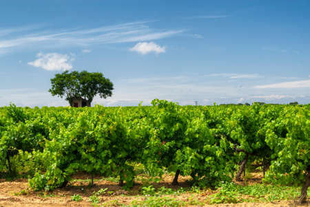 roussillon: Vineyards near Pinet (Languedoc - Roussillon, France) at summer