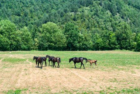 catalunya: Arabian horses in a ranch of Catalunya (Spain)