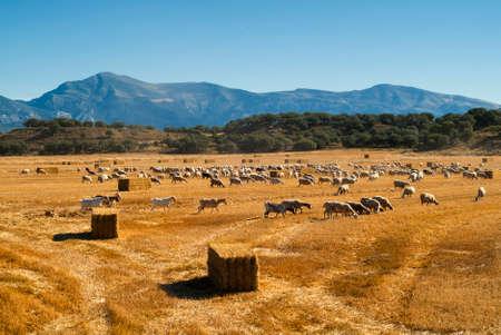 aragon: Sheeps at pasture near Huesca (Aragon, Spain) at summer Stock Photo