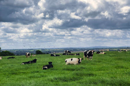 Cows at pasture in Cotes-dArmor (Brittany, France) at summer