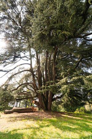 libani: Varese (Lombardy, Italy): Giardini degli Estensi, historic park at october: an old and big cedar of Lebanon (Cedrus Libani) Stock Photo