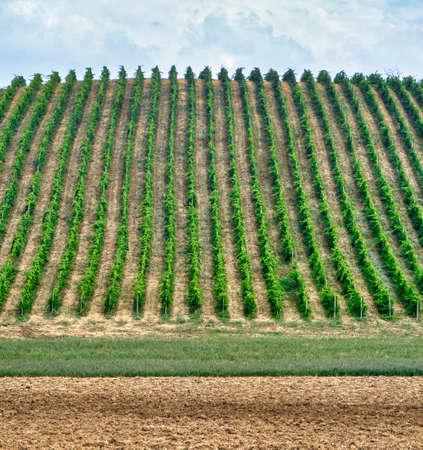 Country landscape near Zaffignana (Piacenza, Emilia Romagna, Italy): vineyard along the road from Ponte dellOlio to Carpaneto Piacentino