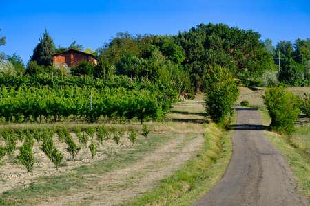 imola: Country landscape between Imola (Bologna) and Riolo Terme (Ravenna, Emilia Romagna, Italy) at summer. Vineyards