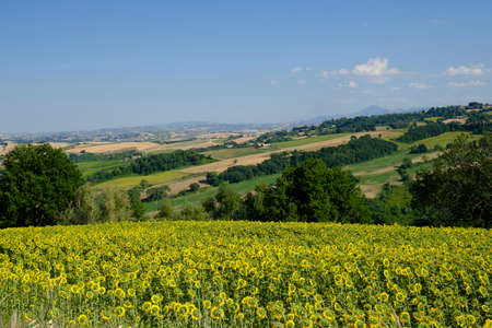 Rural landscape at summer along the road from Fossombrone to Jesi (Marches, Italy), near Sorbolongo. Field of sunflowers