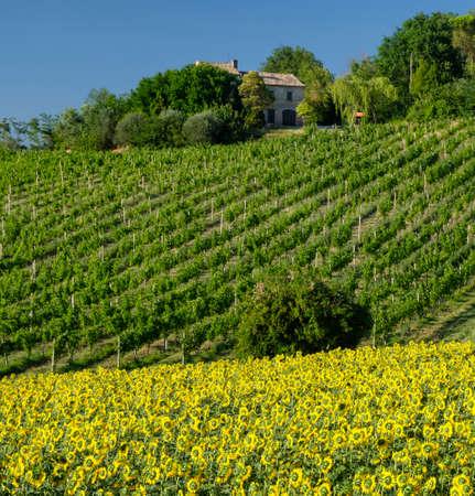 Paesaggio rurale in estate vicino a Corinaldo (Ancona, Marche, Italia). Vigneti e girasoli Archivio Fotografico - 89556600