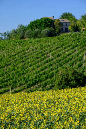 Rural landscape at summer near Corinaldo (Ancona, Marches, italy). Vineyards and sunflowers